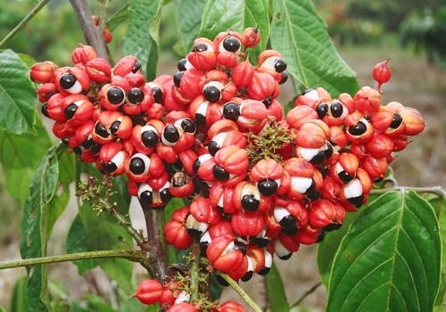 Naturalna moc, prosto z krzewu, który patrzy – Guarana